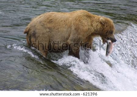 Brown Bear with Salmon - stock photo