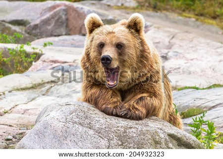 Brown bear with shocked expression - stock photo