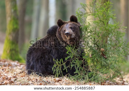 brown bear with small tree - stock photo