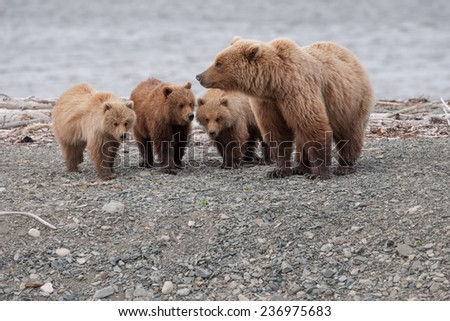 Brown bear with three cubs, on the beach - stock photo