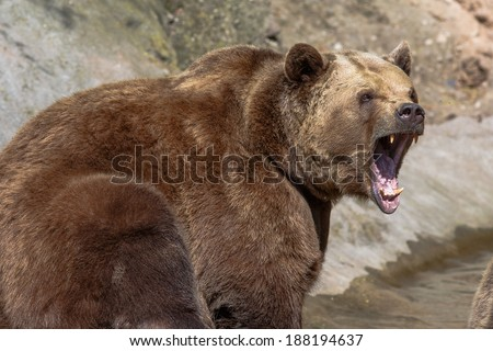 brown bear with wide open snout - stock photo