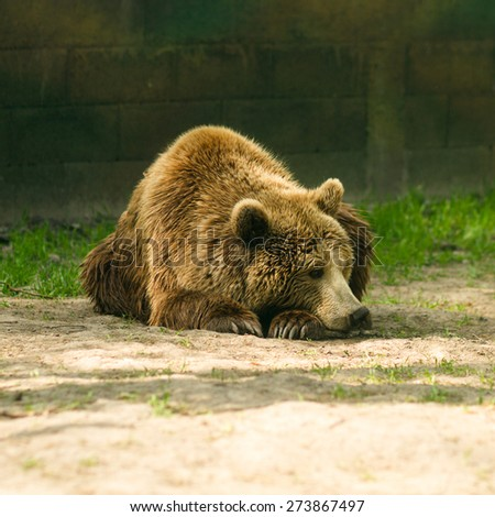 brown bear, zoo - stock photo