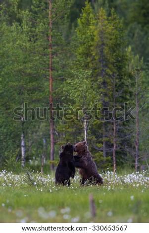 Brown bears fighting in wilderness - stock photo