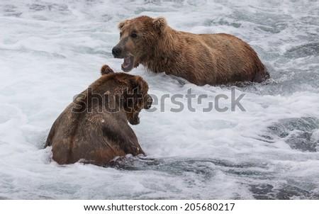 Brown Bears Growling - stock photo