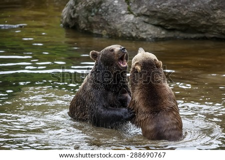 brown bears is fighting - stock photo