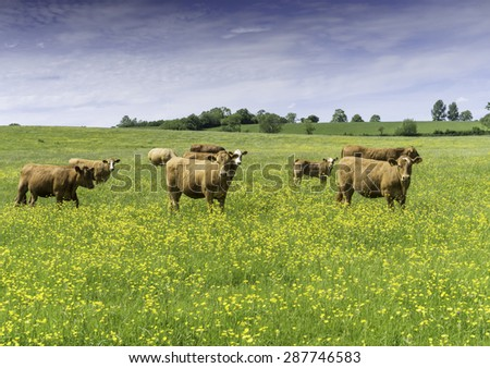 Brown beef cows and calves in a field of buttercups on an English summers day - stock photo
