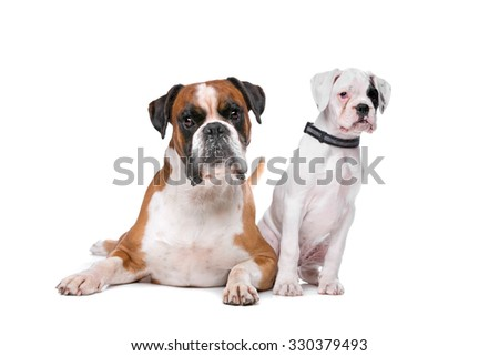 Brown boxer dog and a boxer puppy in front of a white background - stock photo