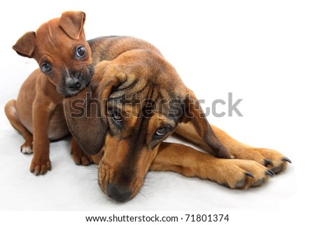 Brown Boxer puppy bites dogs ear - stock photo