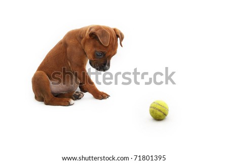 Brown Boxer puppy staring at small green ball 2 - stock photo