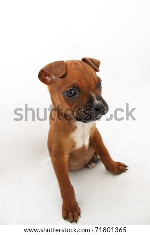 Brown Boxer puppy with white chest - stock photo