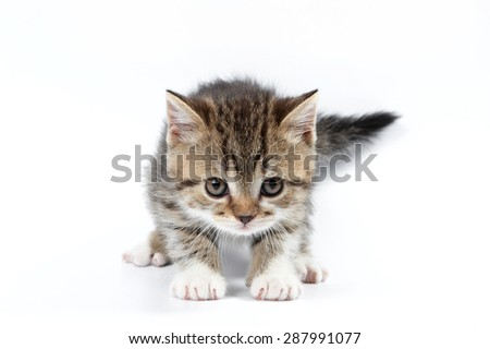 Brown british kitten standing and looking at the camera (isolated on white) - stock photo