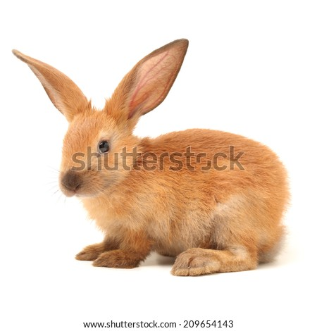brown bunny rabbits isolated on white background - stock photo