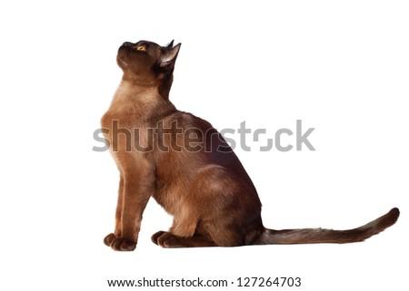 brown burmese cat - stock photo