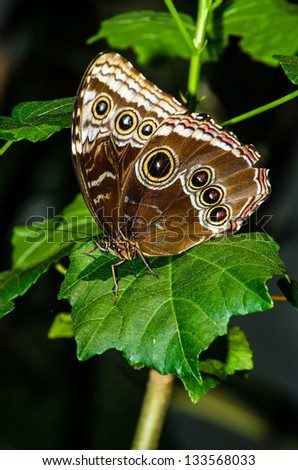 Brown Butterfly - stock photo