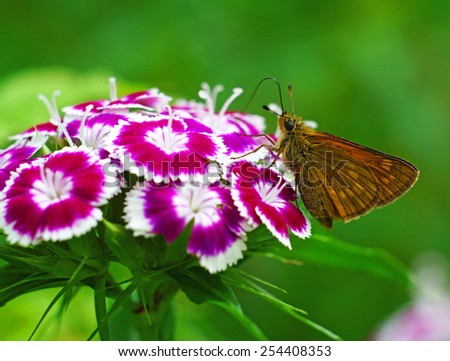 Brown butterfly on pink meadow cloves                                - stock photo