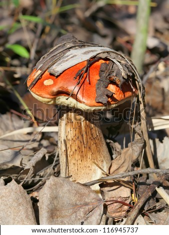 Brown cap mushroom in the forest - stock photo