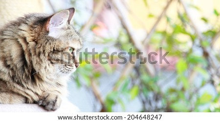 brown  cat of siberian breed, female tricolor - stock photo