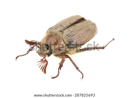 Brown chafer bug isolated on white background - stock photo