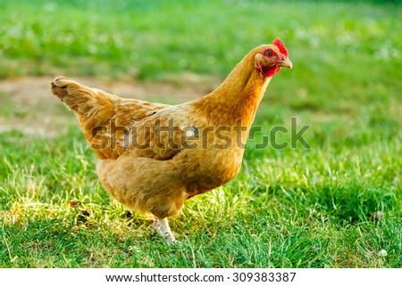 Brown chicken in green garden, summertime - stock photo