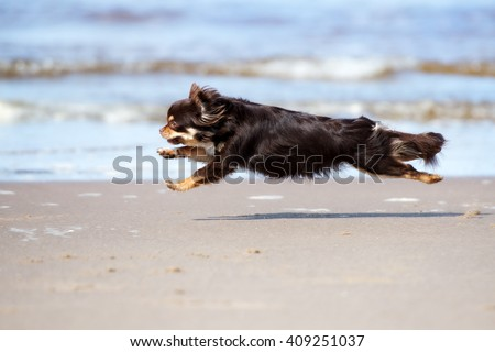 brown chihuahua dog running on the beach - stock photo