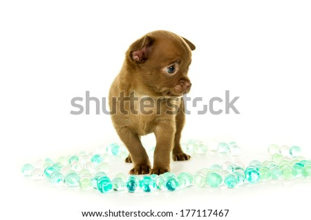Brown chihuahua puppy standing in beads isolated - stock photo