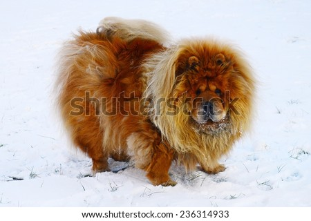 Brown chow chow dog living in the european city. Lithuania. - stock photo