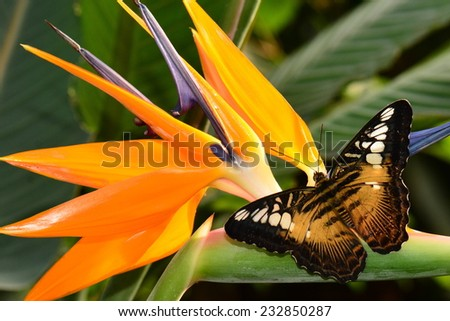 Brown clipper butterfly on a bird of paradise bloom - stock photo