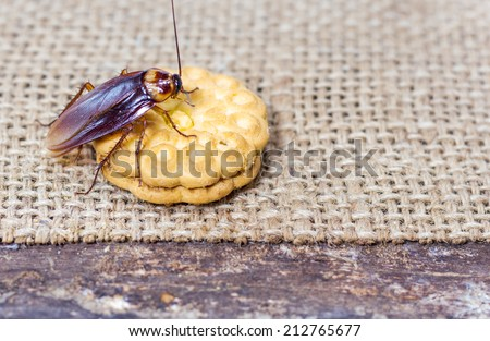 Brown Cockroach on a Piece of Cookie - stock photo