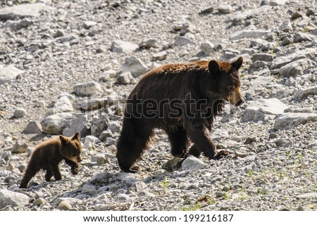 Brown Coloured Black Bear with a tiny cub on a lakeshore, Jasper National Park Alberta, Canada - stock photo