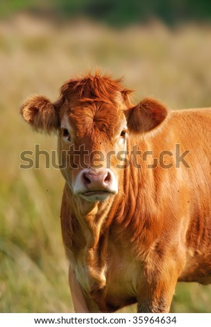 Brown cow a summer day - stock photo