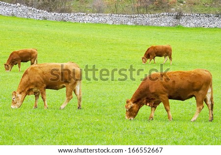 brown cow in rearing livestock - stock photo