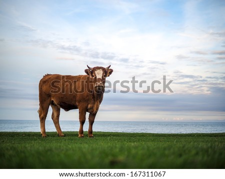 brown cow in Scotland - stock photo