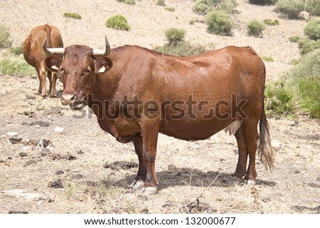 Brown cow in the field - stock photo