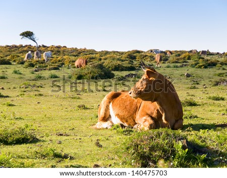 Brown cow lying in a field. This place is located in San Andres de teixido, Galicia, Spain. - stock photo