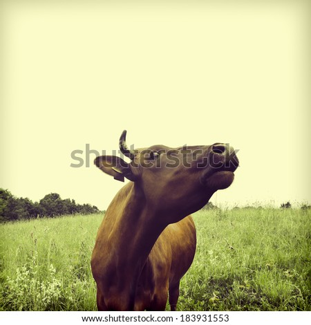 Brown cow on a meadow. To a photo color toning is applied - stock photo