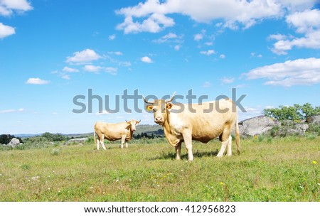 brown cows in a field - stock photo