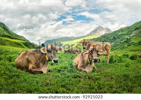 Brown cows in the Alpine meadow high in the mountains - stock photo