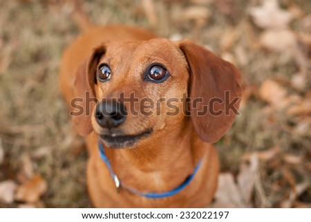 Brown Dachshund dog sits outside in the fall - stock photo