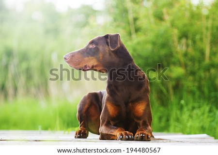 brown doberman pinscher - stock photo