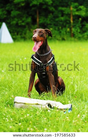 brown doberman pinscher dog defense and protection - stock photo