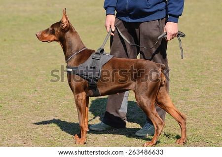 Brown Doberman Pinscher with owner in dog school - stock photo