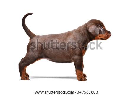 Brown doberman puppy, 1 month - stock photo