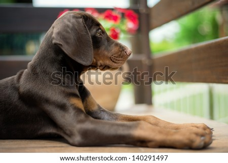 Brown Doberman Puppy. Selective focus. - stock photo