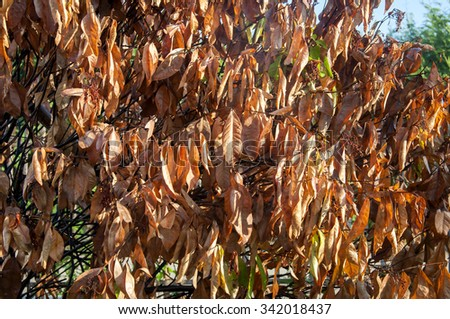Brown dried leaves. - stock photo
