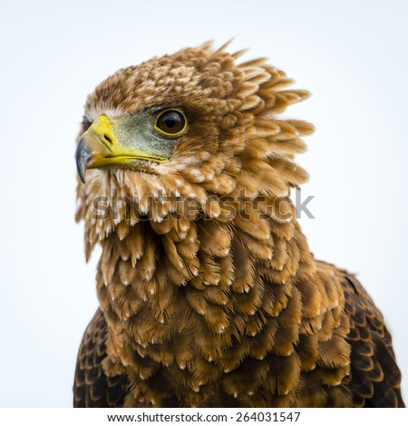 Brown eagle looking for its prey. It has a wide, powerful and sharp eyes with long beak. - stock photo