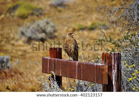 Brown falcon sitting on the bench in Laguna Nimez, El Calafate, Argentina - stock photo