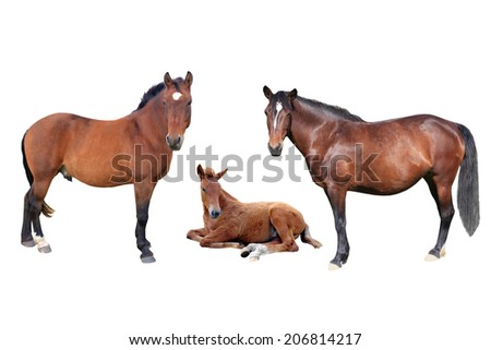 brown family horse on a white background - stock photo
