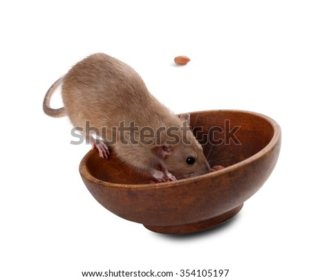 Brown fancy rat (Rattus norvegicus) eating peanuts from plate. Isolated on white background. - stock photo