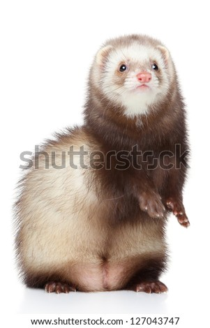Brown Ferret posing on a white background - stock photo
