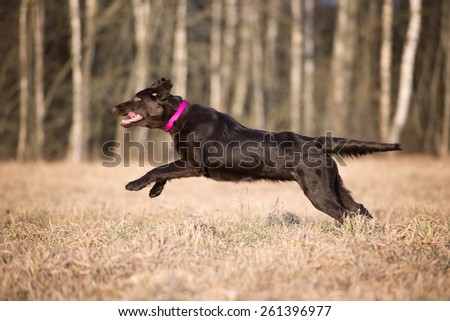 brown flat coated retriever dog running on a field - stock photo
